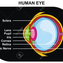 Human Eye Parts Diagram Travel Trailer Wiring Inverter Vector Cross Section Including Sclera Lens Pupil Iris Cornea Retina Optic Nerve Helpful For Clinic And Education In School
