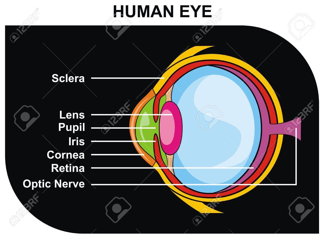 hight resolution of vector human eye cross section including eye parts sclera lens pupil iris cornea retina optic nerve