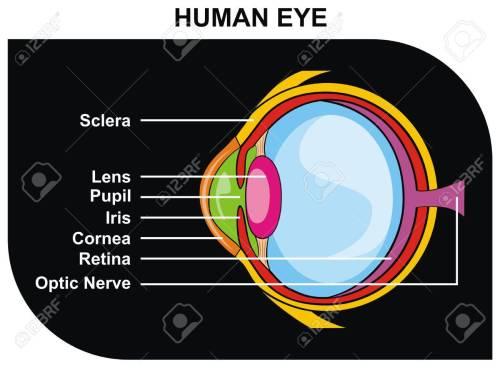 small resolution of vector human eye cross section including eye parts sclera lens pupil iris cornea retina optic nerve
