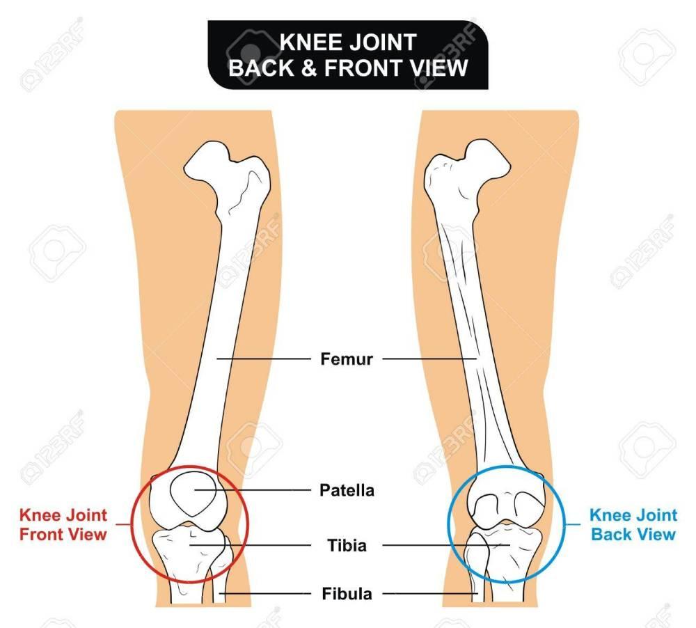 medium resolution of vector knee joint front and back view bones femur tibia fibula patella kneecap stock vector