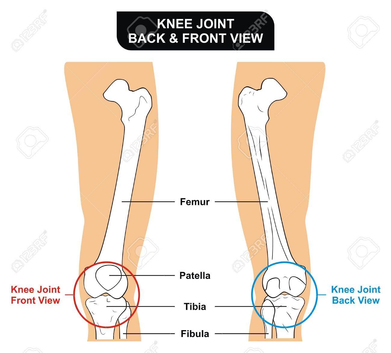hight resolution of vector knee joint front and back view bones femur tibia fibula patella kneecap stock vector