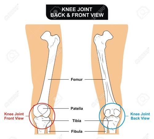 small resolution of vector knee joint front and back view bones femur tibia fibula patella kneecap stock vector