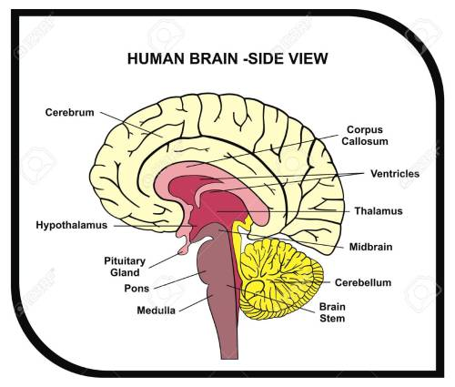 small resolution of vector human brain diagram side view with parts cerebrum hypothalamus thalamus
