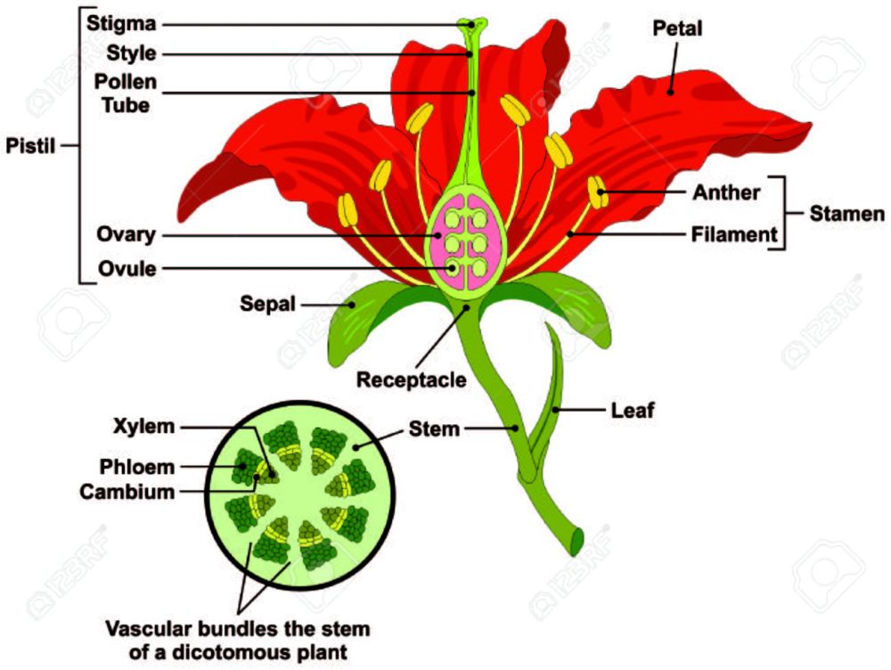 medium resolution of flower parts diagram with stem cross section anatomy of plant morphology and its contents useful for