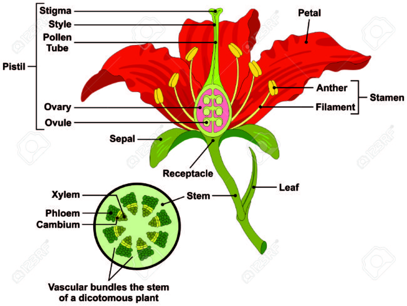 hight resolution of flower parts diagram with stem cross section anatomy of plant morphology and its contents useful for