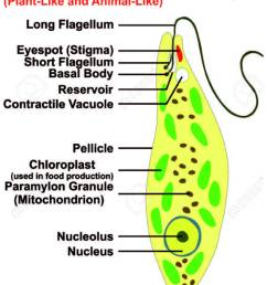 diagram of euglena [ 904 x 1300 Pixel ]