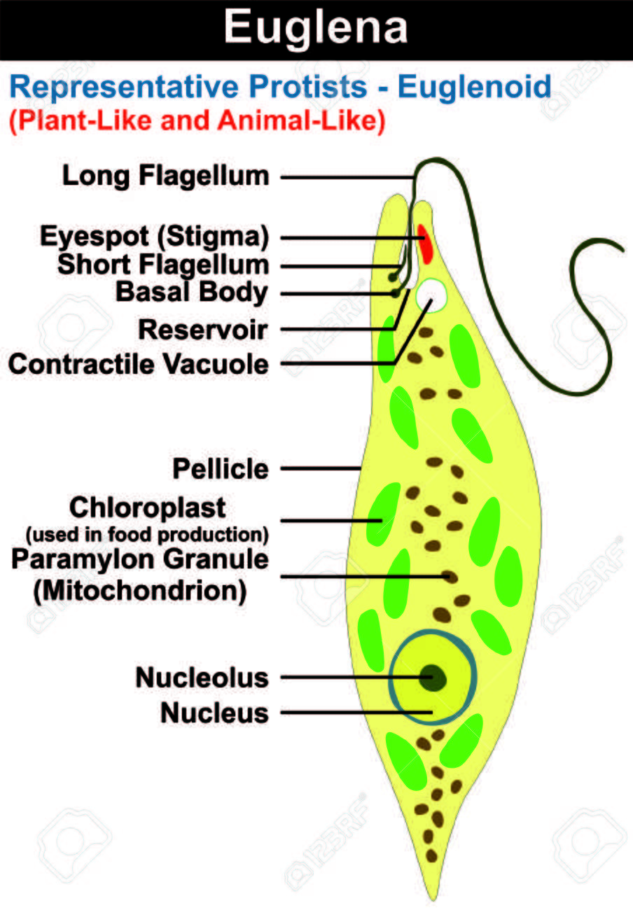 hight resolution of diagram of euglena