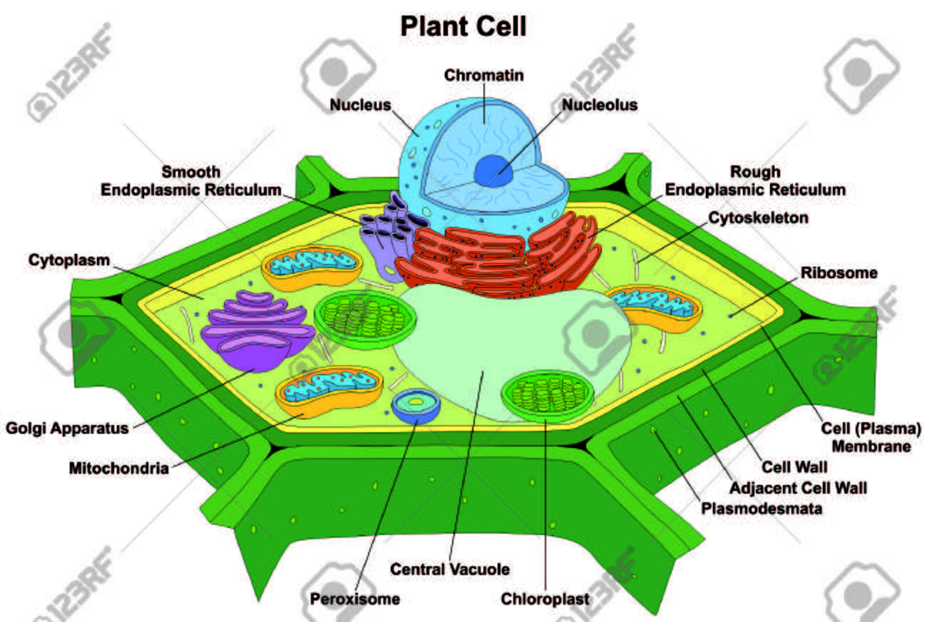 hight resolution of plant cell anatomy diagram structure with all part nucleus smooth rough endoplasmic reticulum cytoplasm stock