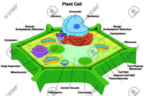 small resolution of plant cell anatomy diagram structure with all part nucleus smooth rough endoplasmic reticulum cytoplasm stock