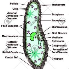 Paramecium Diagram Blank Shower Stall Of Best Wiring Library Caudatum Single Celled Protists Animal Stock Vector 71810369