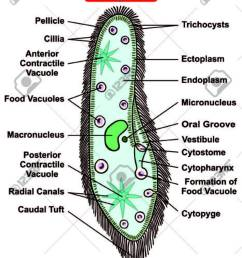 paramecium caudatum diagram single celled protists animal royalty protist bacteria virus venn diagram animal and protist diagram [ 934 x 1300 Pixel ]