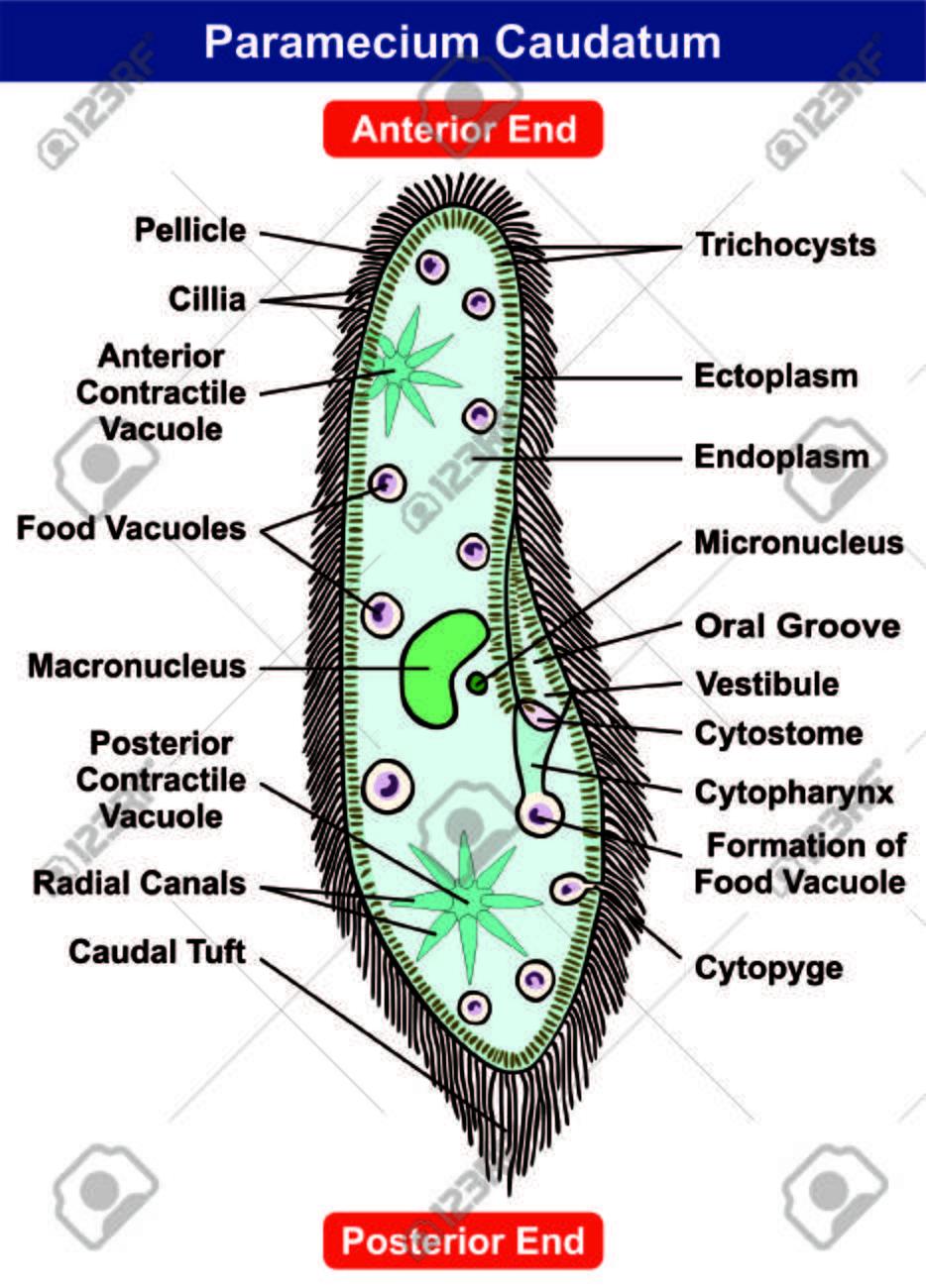 hight resolution of paramecium caudatum diagram single celled protists animal royalty protist bacteria virus venn diagram animal and protist diagram