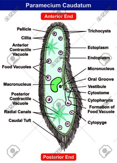 small resolution of paramecium caudatum diagram single celled protists animal royalty protist bacteria virus venn diagram animal and protist diagram