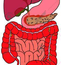 human digestive system tract vector diagram with all parts stock vector 71810380 [ 694 x 1300 Pixel ]