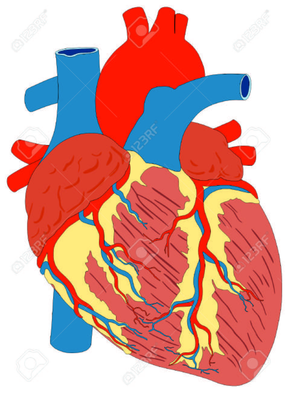 medium resolution of human heart muscle gross anatomy vector diagram unlabeled outside view with all parts aorta aortic arch