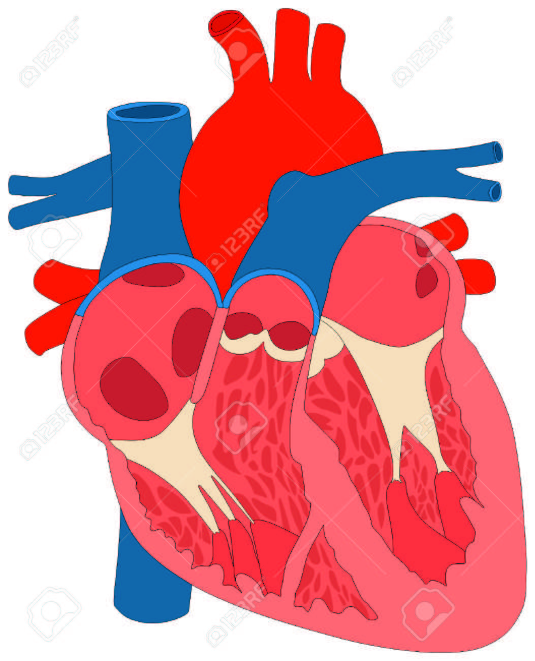 unlabeled heart diagram cross section pj wiring homebrewtalk human muscle anatomy anatomical chart with all parts aorta aortic arch right