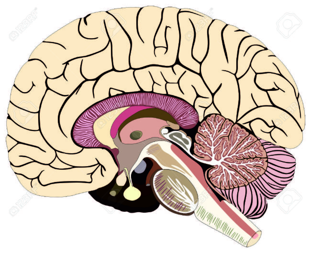 hight resolution of median section of human brain anatomical structure diagram unlabeled chart with all parts stock vector