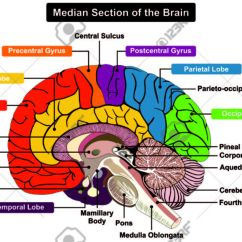 Brain Diagram Inside 97 Vw Jetta Radio Wiring A 13 Kenmo Lp De Median Section Of Human Anatomical Structure Rh 123rf Com Level Psychology