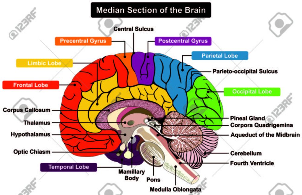 medium resolution of median section of human brain anatomical structure diagram infographic chart with all parts cerebellum thalamus