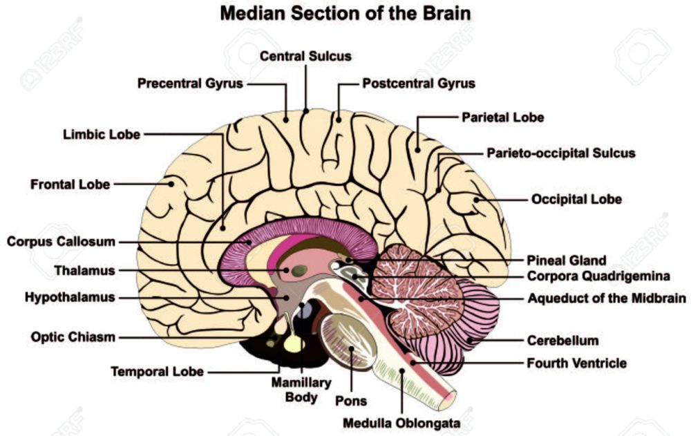 medium resolution of median section of human brain anatomical structure diagram infographic chart with all parts stock vector