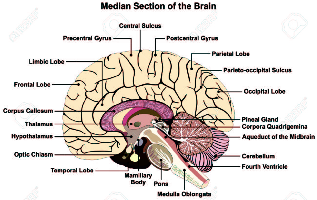 hight resolution of median section of human brain anatomical structure diagram infographic chart with all parts stock vector