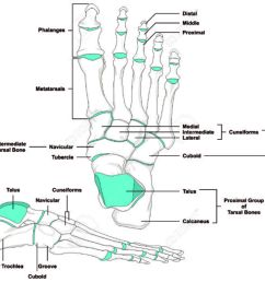 human foot bones anatomy diagram in anatomical position stock vector 71810420 [ 1300 x 1034 Pixel ]