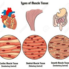 Cardiac Muscle Tissue Diagram Labeled Trailer Rear Light Wiring Data Types Of Human Body Including Cartilage