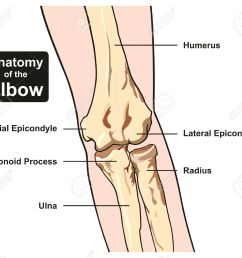 anatomy of the elbow joint diagram including all bones humerus radius ulna for medical science education [ 1300 x 1164 Pixel ]