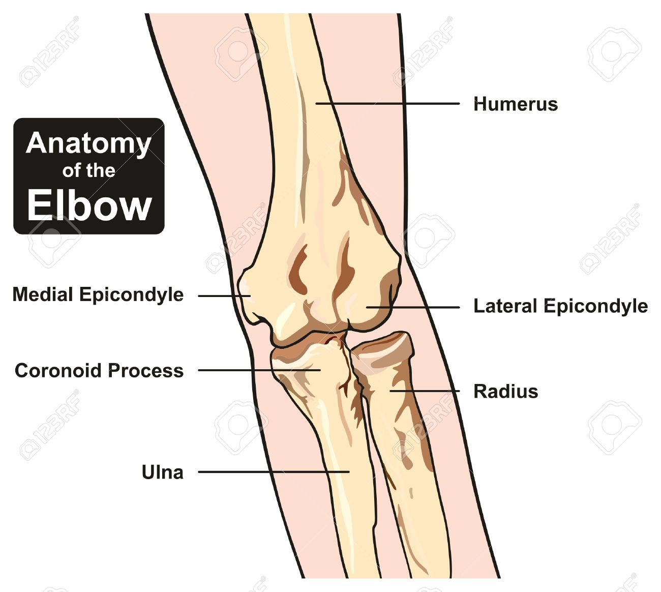 hight resolution of anatomy of the elbow joint diagram including all bones humerus radius ulna for medical science education