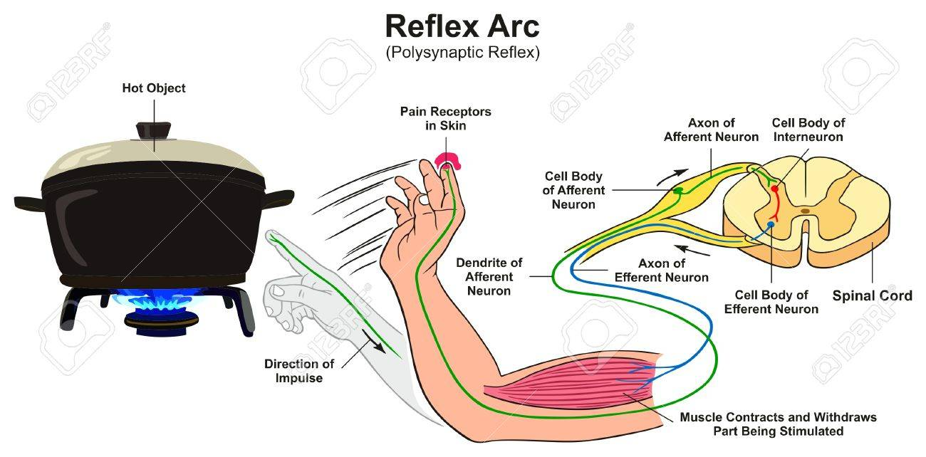 reflex arc diagram ceiling speaker volume control wiring infographic with example of polysynaptic human hand touching hot object pain receptors