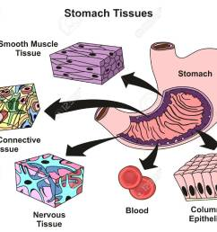 stomach tissues types and structure infographic diagram including smooth muscle loose connective nervous blood columnar [ 1300 x 1057 Pixel ]