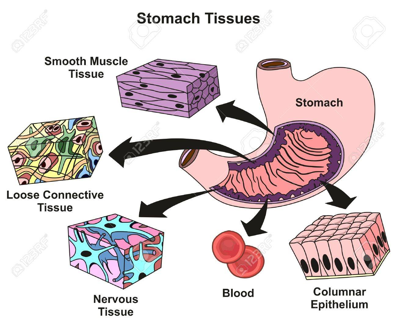 hight resolution of stomach tissues types and structure infographic diagram including smooth muscle loose connective nervous blood columnar