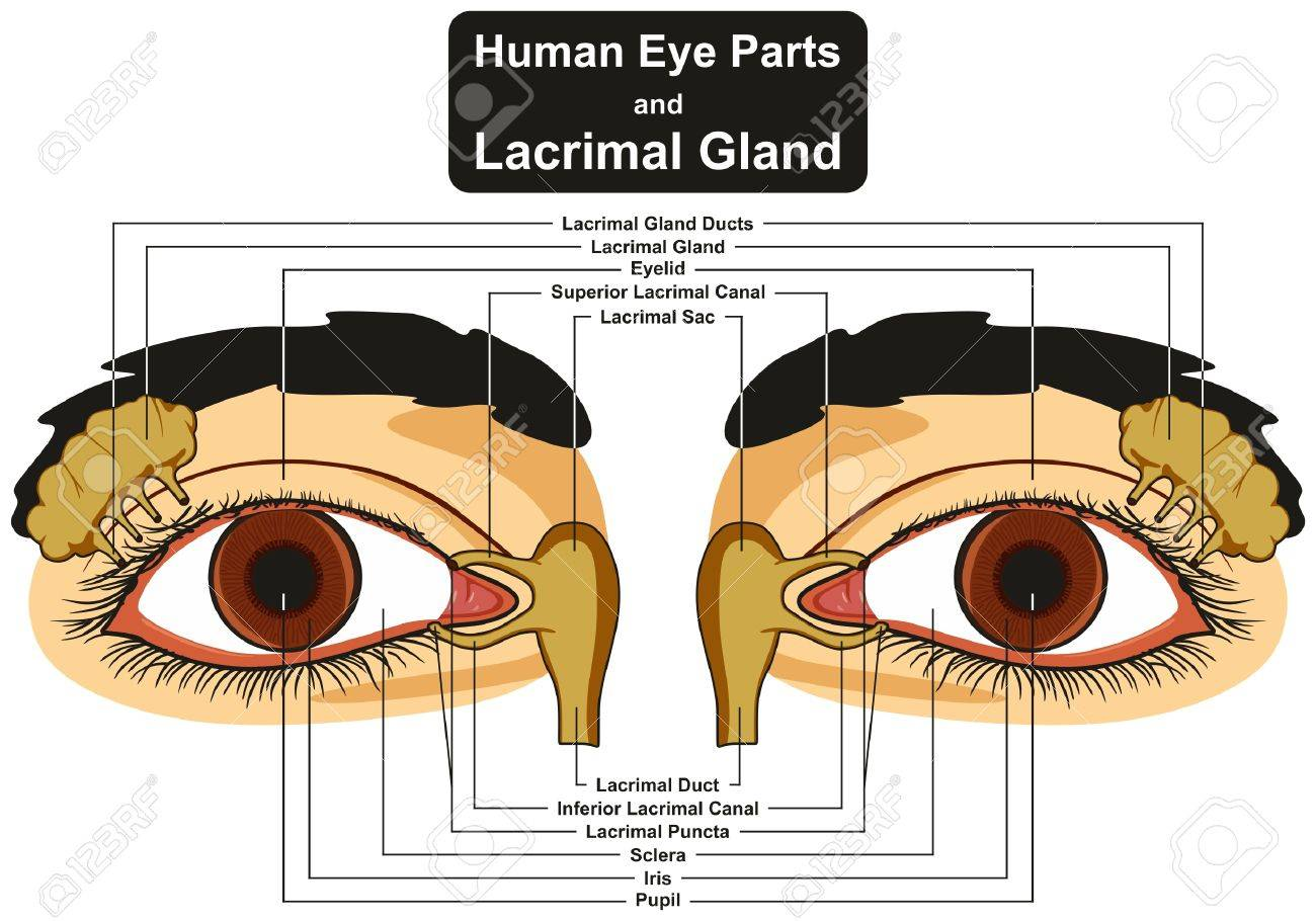 human eye parts diagram one wire alternator wiring and lacrimal gland infographic including pupil iris sclera canal duct sac eyelid