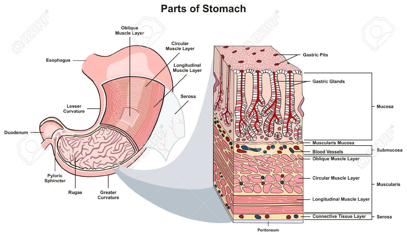 hight resolution of parts of stomach infographic diagram including structure and cross section esophagus muscle layers lesser and greater