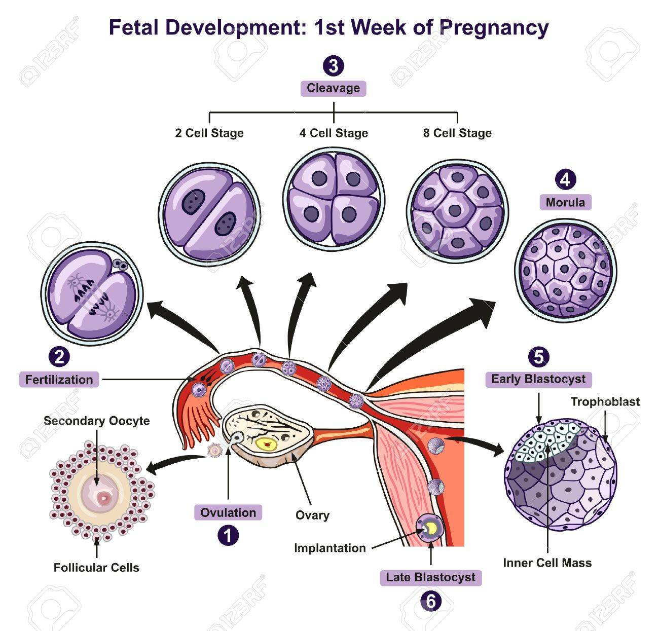 hight resolution of fetal development first week of pregnancy infographic diagram of female reproductive system with all stages including