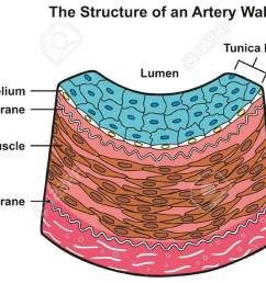 structure of artery wall infographic diagram including all layers tunica externa media and intima cross section [ 1300 x 699 Pixel ]