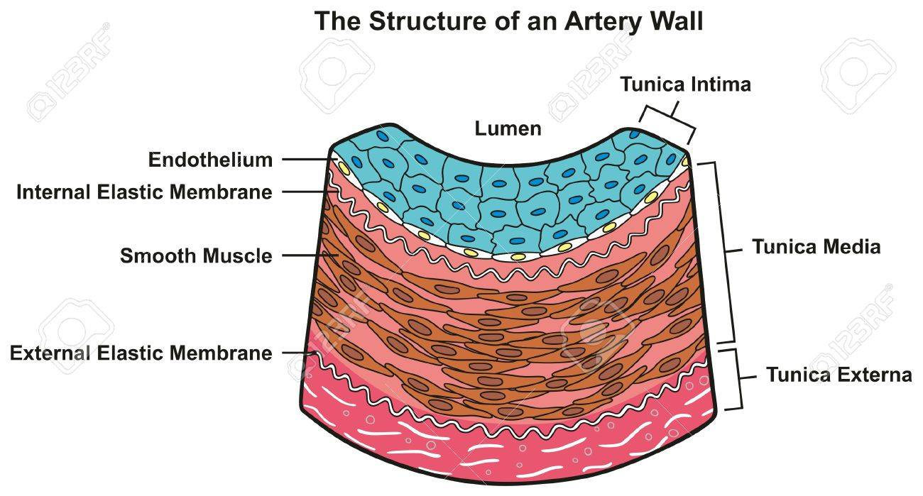 hight resolution of structure of artery wall infographic diagram including all layers tunica externa media and intima cross section