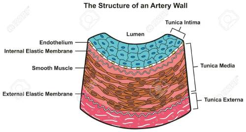 small resolution of structure of artery wall infographic diagram including all layers tunica externa media and intima cross section