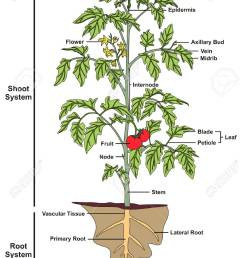 plant structure infographic diagram including all parts of shoot diagram of plant parts diagram of plant [ 906 x 1300 Pixel ]