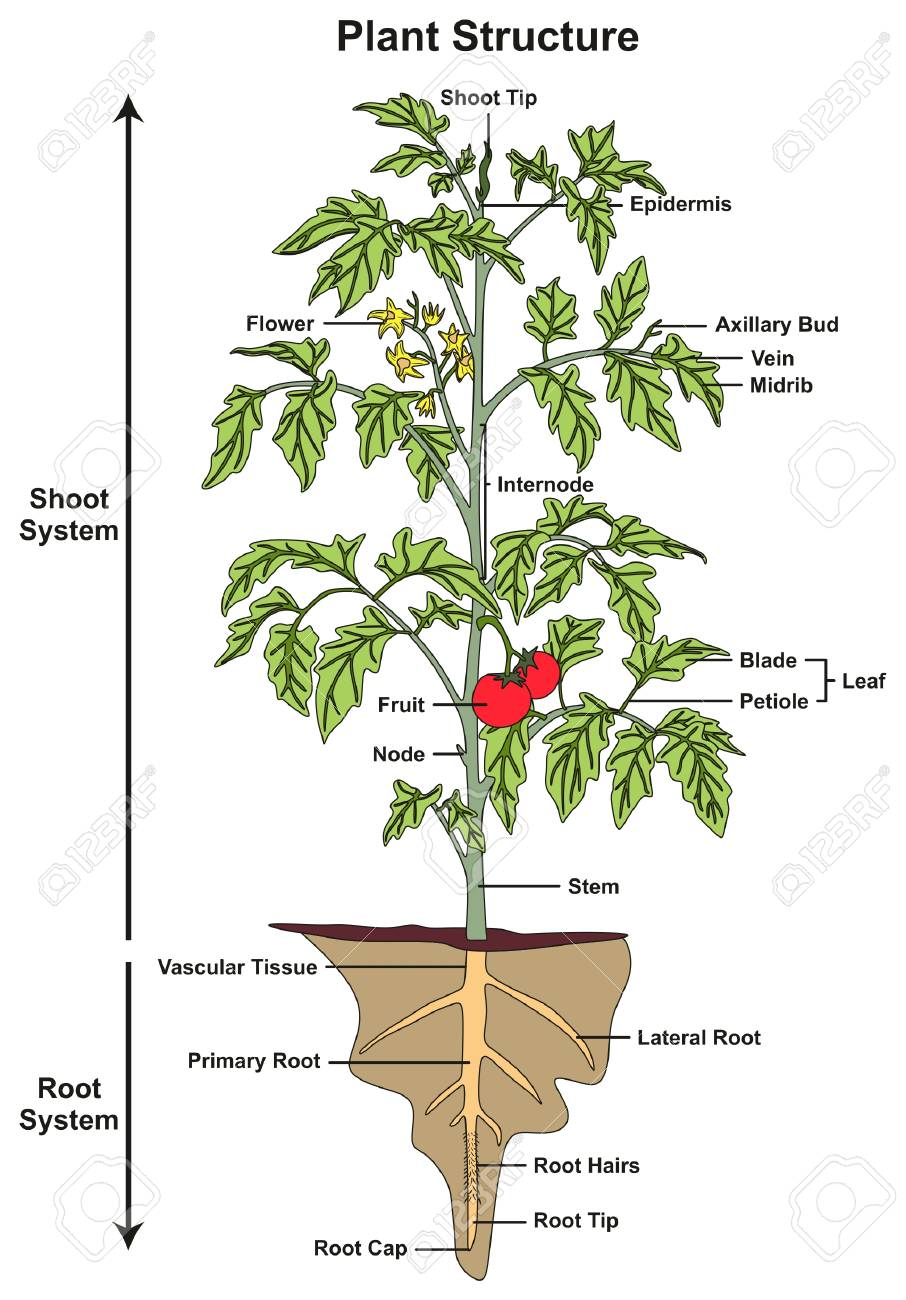 medium resolution of plant structure infographic diagram including all parts of shoot and root systems showing buds flower fruit