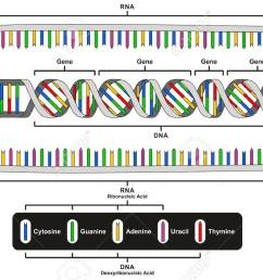 central dogma of gene expression infographic diagram showing the process of transcription and translation from dna [ 1300 x 855 Pixel ]
