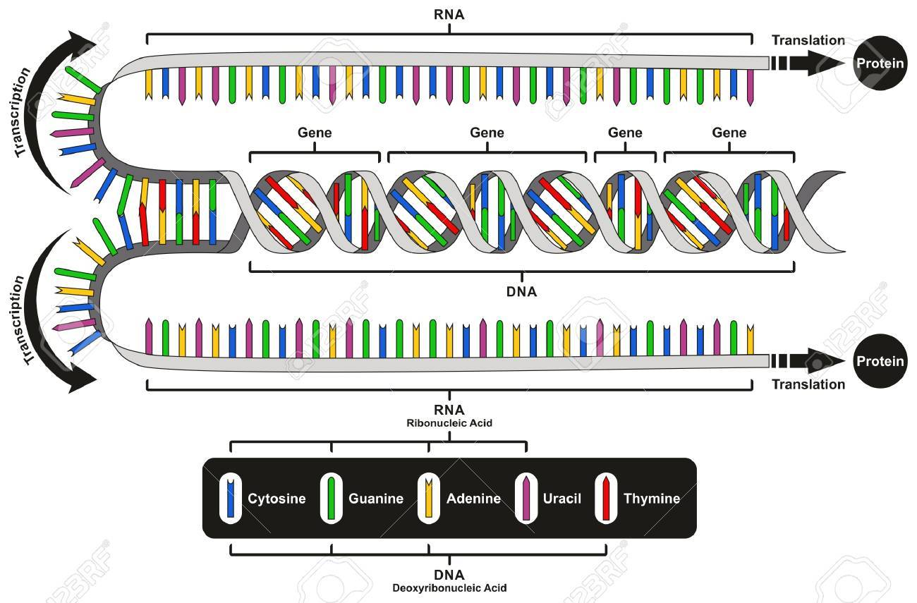 hight resolution of central dogma of gene expression infographic diagram showing the process of transcription and translation from dna