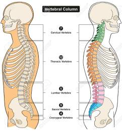 vector vertebral column of human body anatomy infograpic diagram including all vertebra cervical thoracic lumbar sacral and coccygeal for medical science  [ 1244 x 1300 Pixel ]