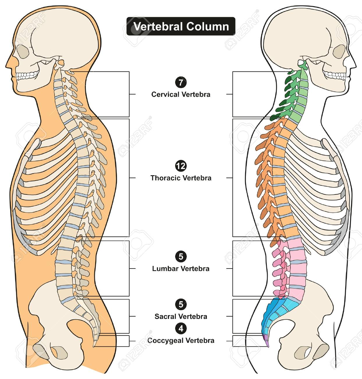 hight resolution of vector vertebral column of human body anatomy infograpic diagram including all vertebra cervical thoracic lumbar sacral and coccygeal for medical science