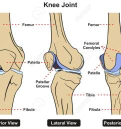 knee joint of human body anatomy infographic diagram including anterior lateral and posterior view with all [ 1300 x 1037 Pixel ]