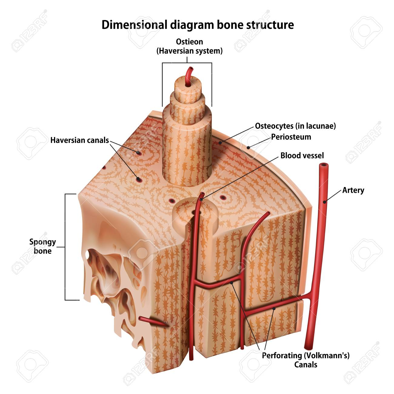 hight resolution of three dimensional diagram bone structure stock vector 102959492
