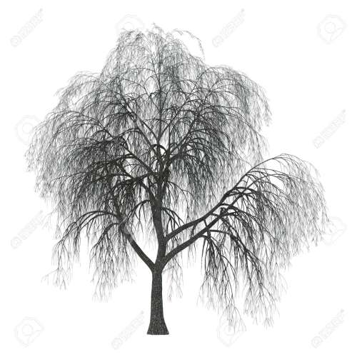 small resolution of 3d illustration of a weeping willow or sallow or osier isolated on white background stock photo