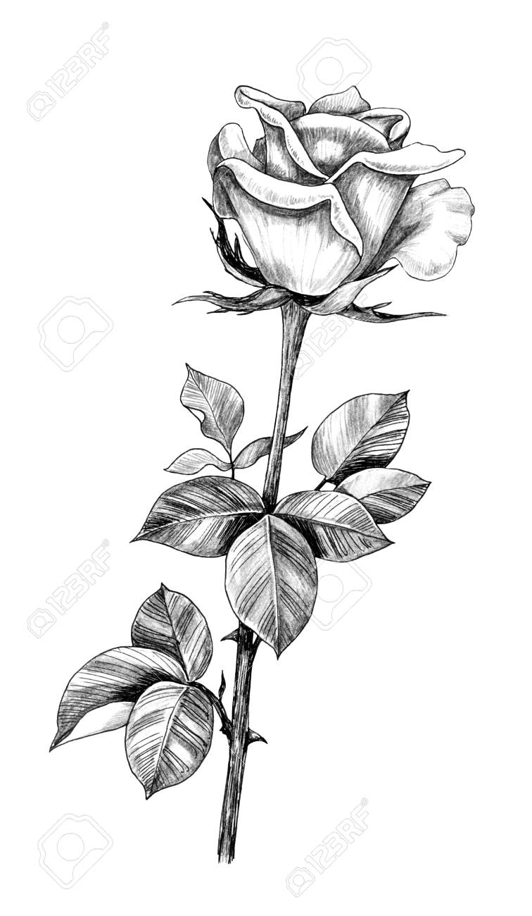 Rose Drawing Images : drawing, images, Drawn, Leaves, Isolated, White, Background..., Stock, Photo,, Picture, Royalty, Image., Image, 118980125.