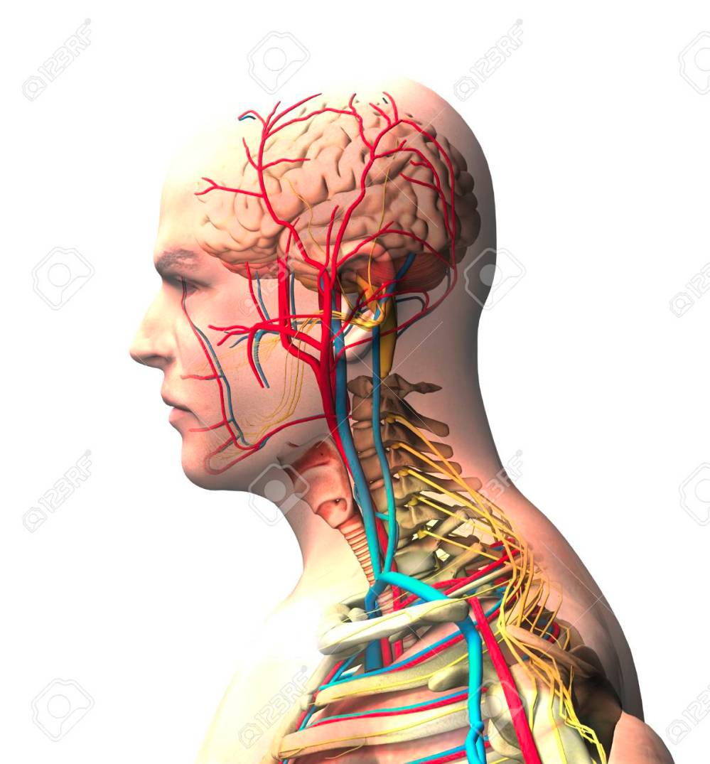 medium resolution of man seen from the side brain face x ray view of arteries