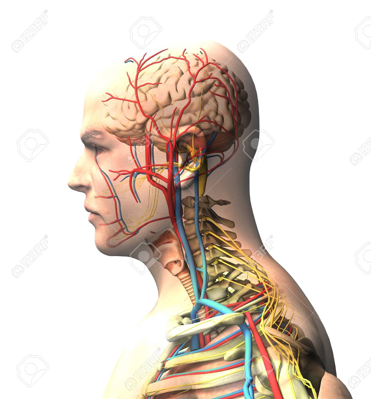 hight resolution of man seen from the side brain face x ray view of arteries